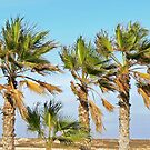 Palm Trees Blowing in the Wind by avocet