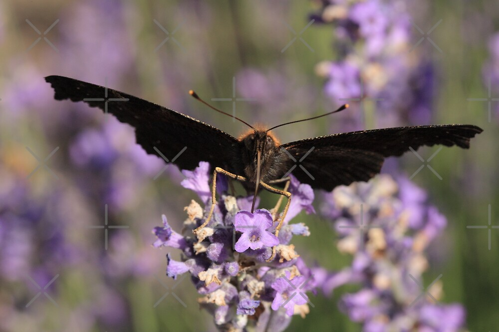 butterfly sucking nectar by Jicha
