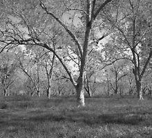 Pecan Orchard, Magnolia Springs, Al. by matt1960