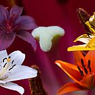 Our liliums by indiafrank