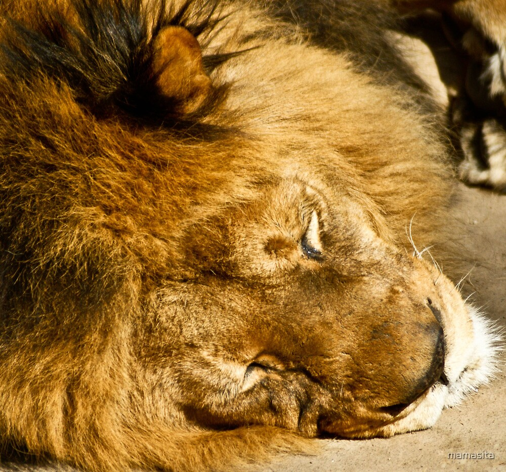 Male Lion Takes His Nap by mamasita