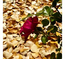 Harvest Rose Photographic Print