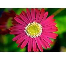 Scarlet Daisy Photographic Print