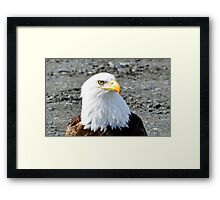 Bald Eagle Bust Framed Print