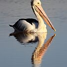 """Upon Reflection - A Pelican"" by jonxiv"