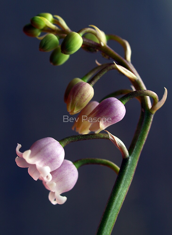 Lily of The Valley Rosea #3 by Bev Pascoe