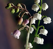 Lily of The Valley, White & Rosea by Bev Pascoe