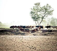 Herd of cows by zaghumkhan