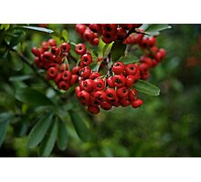 Christmas Red Berries Photographic Print