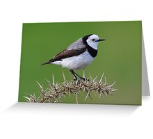 White Fronted Chat taken on Bruny Island. Greeting Card