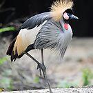 African Grey Crowned Crane. by Ralph de Zilva