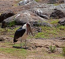 Marabou Stork by Sue Robinson