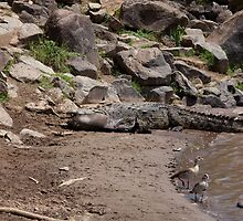 Crocodile with prey on Mara River by Sue Robinson