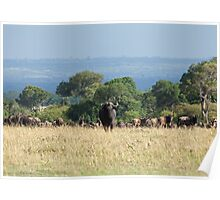 Cape Buffalo on Masai Mara Poster