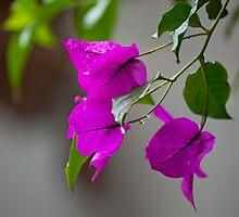 Bougainvillea in rain by Sue Robinson