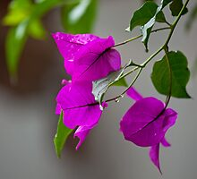 Bougainvillea in rain by Sue Robinson