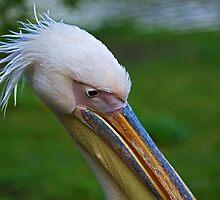 Pelican head shot by Sue Robinson