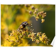Hoverfly washing legs Poster