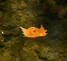 Autumn Leaf floating by Sue Robinson