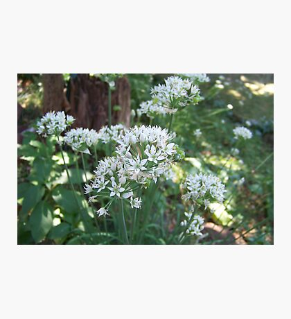 Fall Chive Blossoms Photographic Print