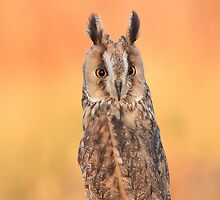 Long Eared Owl - iPhone Case by Mark Hughes