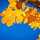 Autumn leaves by Jari Hudd