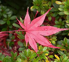 Japanese Maple Leaf by ninthcircle