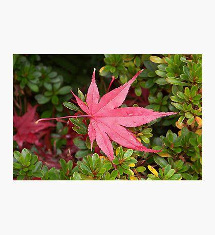 Japanese Maple Leaf Photographic Print