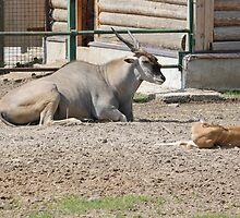 Antelope by pisarevg