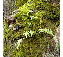 Licorice Root Fern Photographic Print