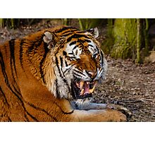 Siberian Tiger roar Photographic Print