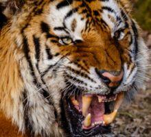 Siberian Tiger roar Sticker
