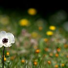 White Poppy stands tall by copacic