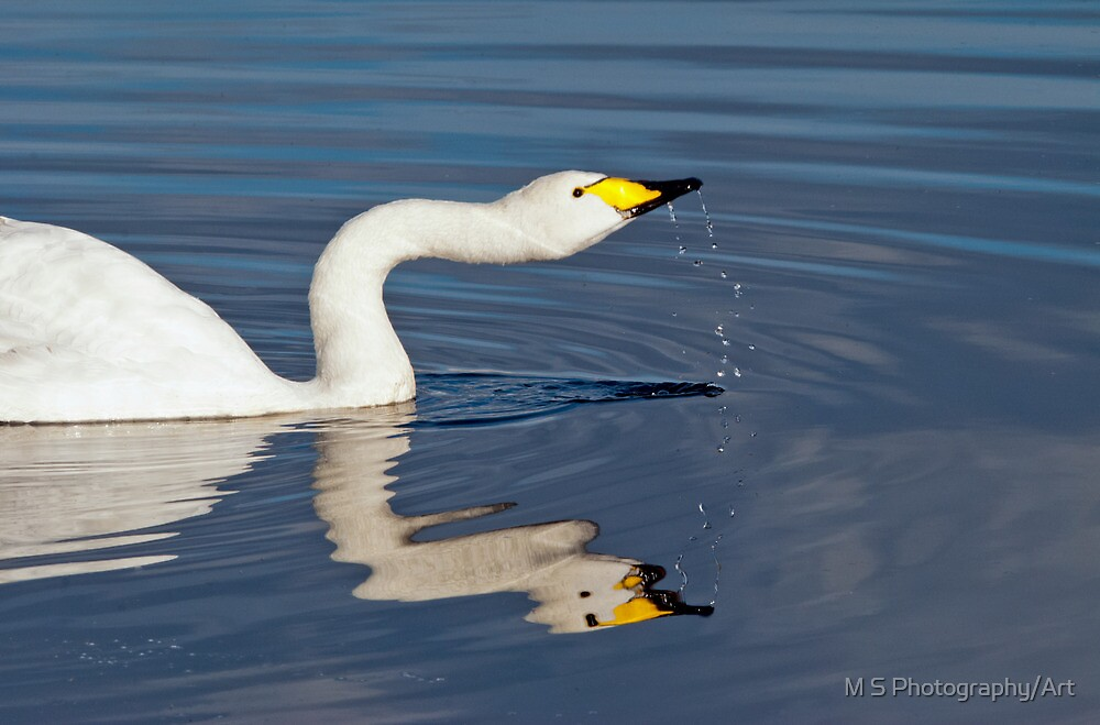 Whooper Swan by M.S. Photography/Art