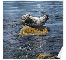 Harbor Seal Yoga Poster