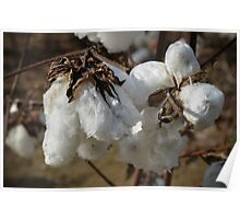 Tennessee Cotton Poster