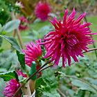 Crimson Urchin Dahlias by magicaltrails