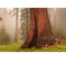 Giant Sequoia Tree Photographic Print