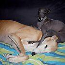 Galgo Aurora & Italian greyhound Kulta by homesick