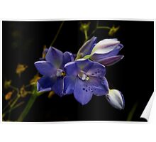 Spotted Sun Orchid Poster