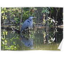 Great Blue Heron Dead River, Florida Poster