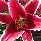 Sock it to 'em, Baby! Asiatic Lily Macro by kathrynsgallery