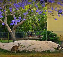 Jacaranda Wallabies by myraj