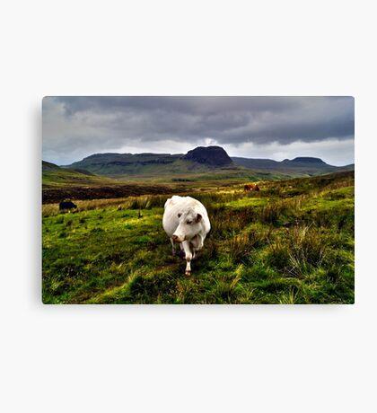 The White Cow Canvas Print