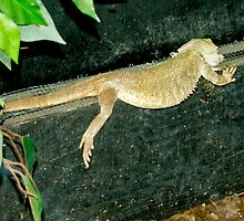 Lounge Lizzard by Catherine Hamilton-Veal  ©