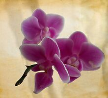 Orchids by Manverie