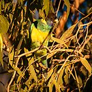 Port Lincoln Ringneck Parrot (Barnardius zonarius) by Rosie Appleton