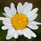 Daisy by barbox