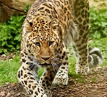 Prowling Amur by Mark Hughes