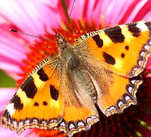 painted lady on purple flower by Jicha